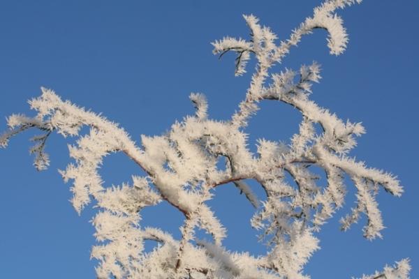 Vinter_Thuja_vinter